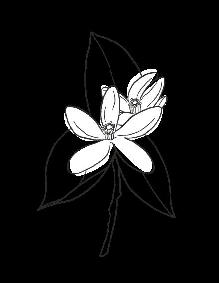 Orange Blossom / FLORAL
